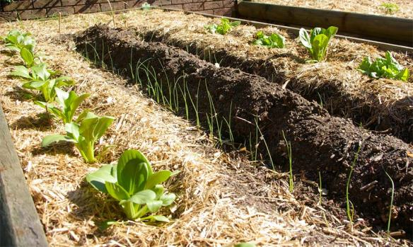 Sugar cane mulch on vegetables